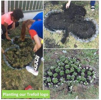 trefoil planting